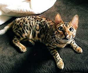 bengal, kitty, and cat image