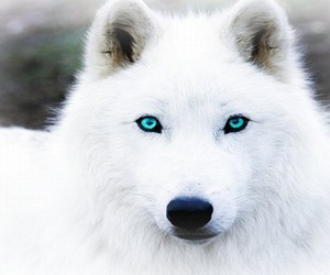 wolf, white, and blue image
