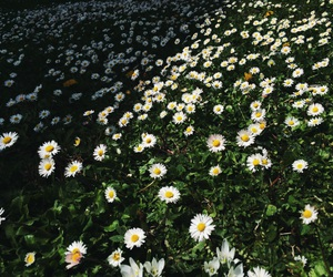 camomile, daisies, and daisy image