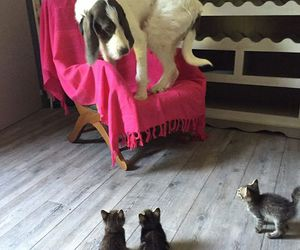 dog, cat, and kitten image