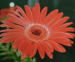 beautiful, gerbera, and camera image