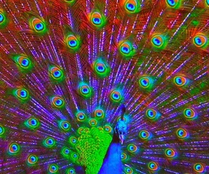 animal, feather, and peacock image