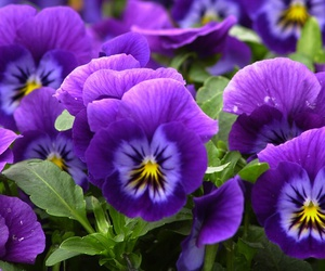 violet, flowers, and purple image