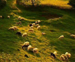 ireland and sheep image