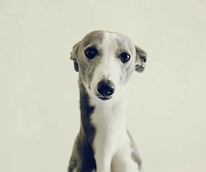 animal, dog, and greyhound image