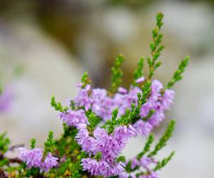 flora, heather, and nature image