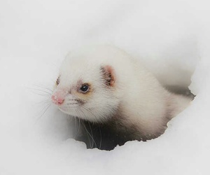 animals, wildlife, and weasel image