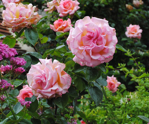 2012, flowers, and rose garden image