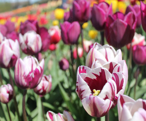 photography, spring, and tulips image