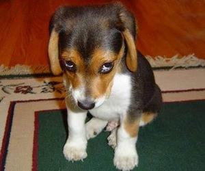 beagle, cachorro, and dog image