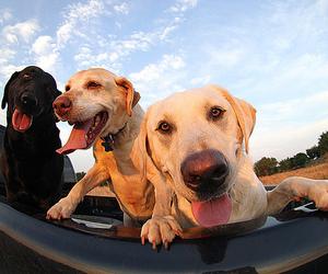 dog, animal, and labrador image