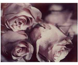 flowes, pink, and roses image