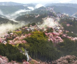 cherry blossoms, japan, and nara prefecture image