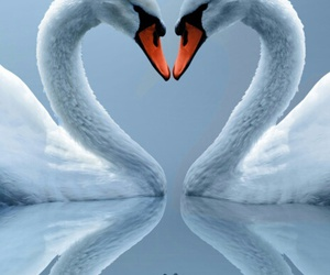 love, Swan, and animal image