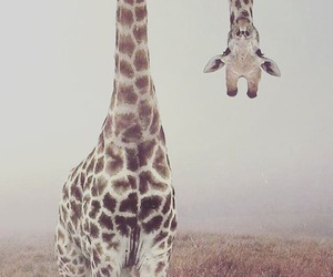 animal and giraffe image