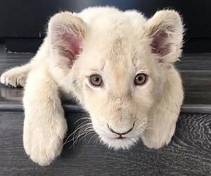 sweet, cute, and whitelion image