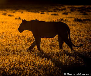 big cat, lioness, and shadow image