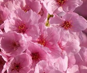 cherry blossoms, flower, and pink image
