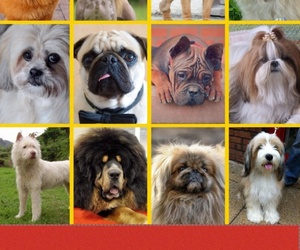 animals, china, and chow chow image