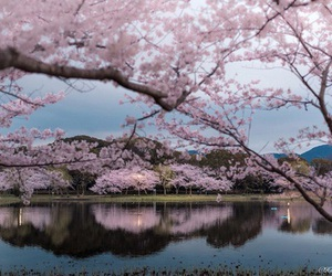 japan, sakura, and tree image