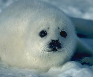 cute, seal, and white image