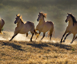 beautiful, cheval, and horse image