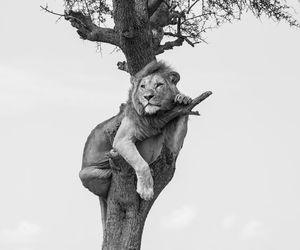 lion, animal, and black image
