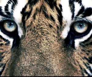 animals, eyes, and tiger image