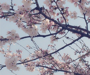 cherry blossom, flower, and pink image
