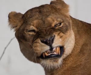 animal, lion, and theme image