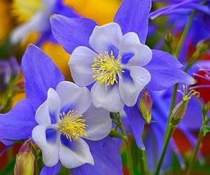 blue, flowers, and aquilegia image