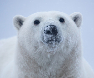 ice and Polar Bear image