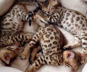 adorable, animals, and leopard image