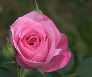 pink, rose, and in nature image