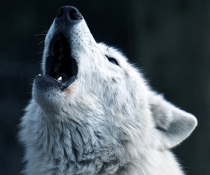 animal, Howl, and howling image