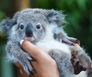 baby and koala bear image