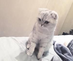 cat and scottish fold image