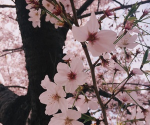 bloom, cherryblossom, and flowers image