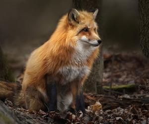 animal, fox, and autumn image