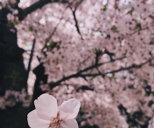beautiful, bloom, and cherry blossom image