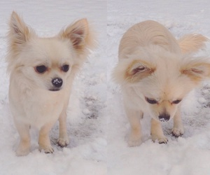 chihuahua, snow, and chihuahua puppy image