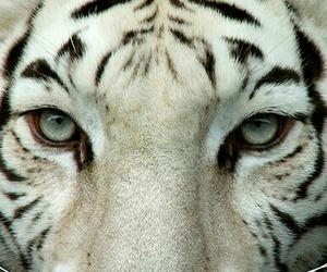 tiger, animal, and photography image