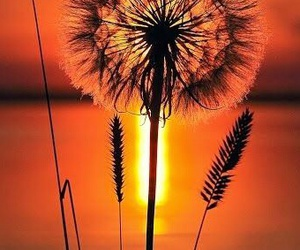 sunset, nature, and dandelion image