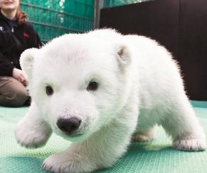cute, animals, and Polar Bear image