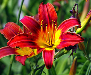 flower and tigerlily image