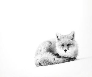black white, fox, and cute image