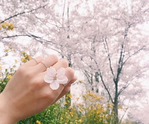 background, cherry blossom, and flower image