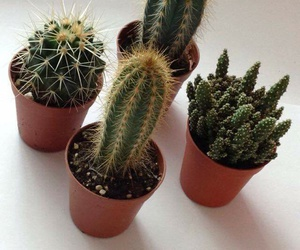 cactus, cactuses, and decoration image