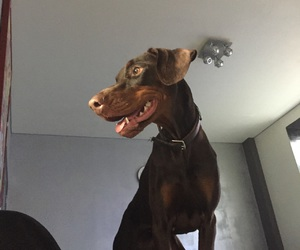 dogs, doberman, and dobermann image