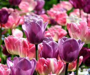 blossoms, tulips, and flowers image